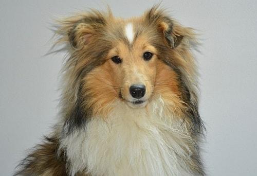 شتلند شیپداگ (Shetland Sheepdog)