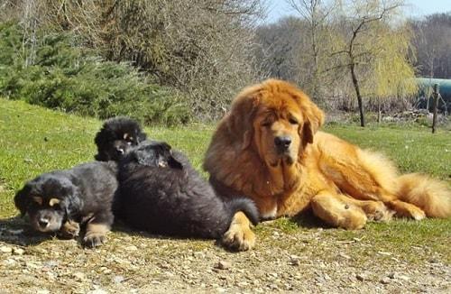 ماستیف تبتی(Tibetan Mastiff)