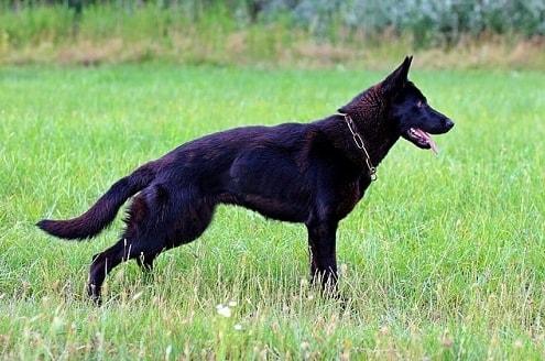 سگ ژرمن بلک