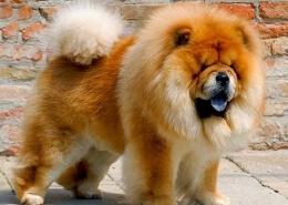 خرید سگ چاو چاو