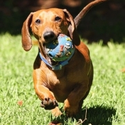 سگ Dachshund