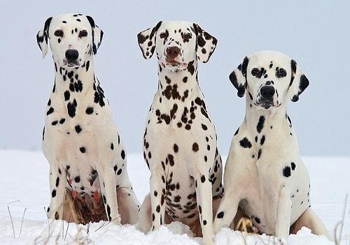 دالمیشن (Dalmatian)