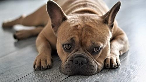 سگ بولداگ فرانسوی