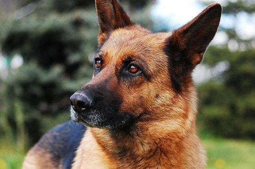ژرمن شپرد (German shepherd)