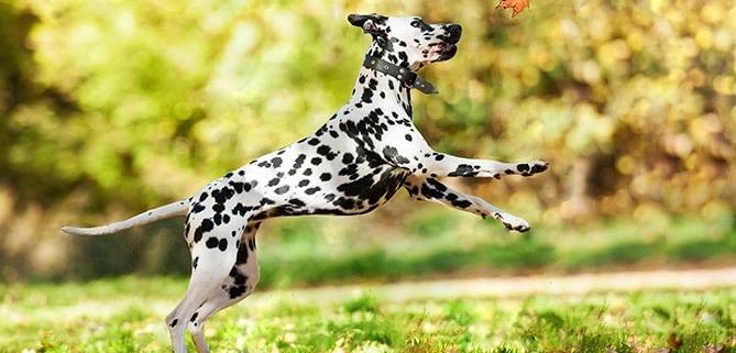فعال ترین و پرانرژی ترین نژادهای سگ