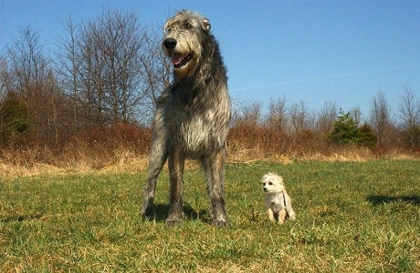 تازی ایرلندی (Irish Wolfhound)