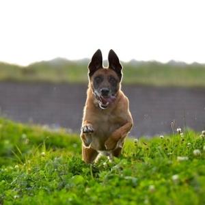 شرایط فروش سگ مالینویز بلژیکی