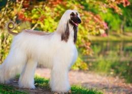 گرانترین نژادهای سگ در جهان کدامند؟(2020)