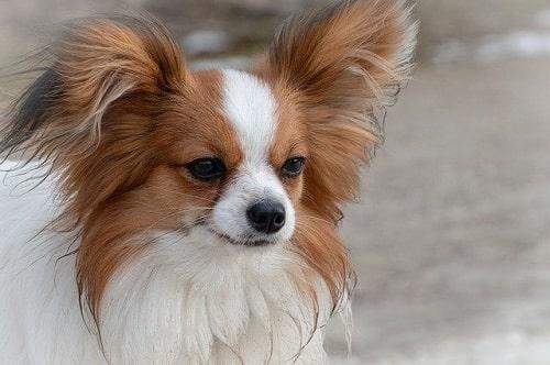 پاپیون (papillon-dog-smartest)