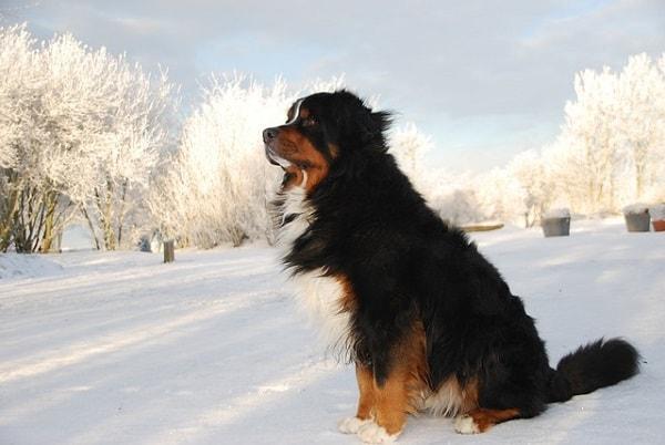 سگ برنیز مانتین داگ نشسته بر روی سطح پوشیده از برف
