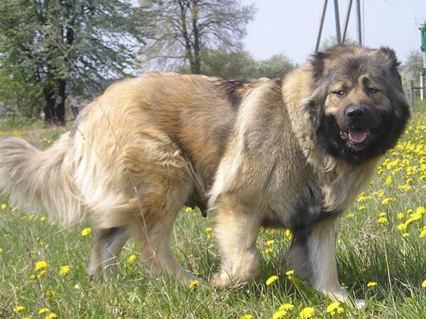 سگ قفقازی با پوشش دولایه مناسب اب و هوای سرد
