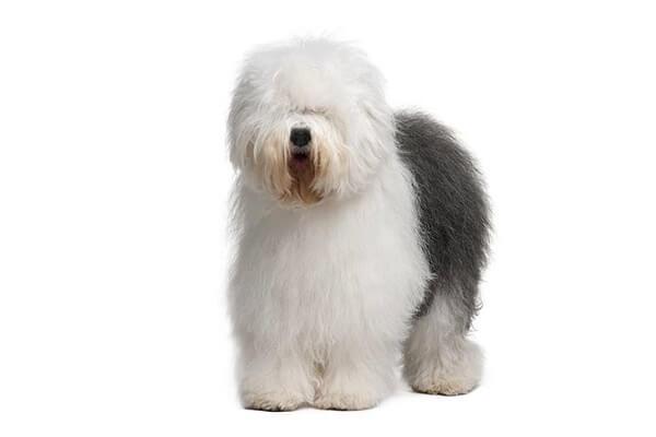 سگ گله انگلیسی مناسب برای زندگی در اب و هوای سرد
