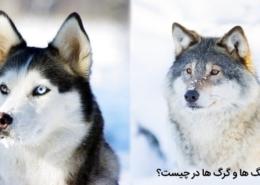 تفاوت سگ با گرگ