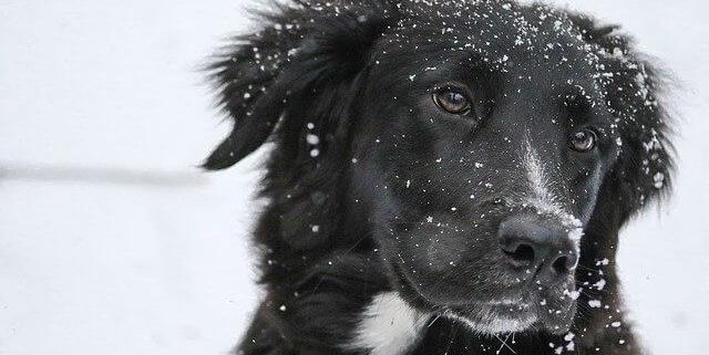 حقایقی که درباره سگ های بردرکولی نمی دانید