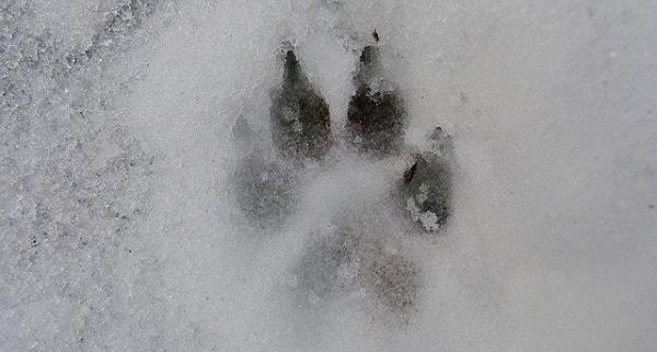 جای پای سگ بر روی برف