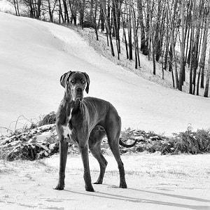 سگ گریت دین در برف