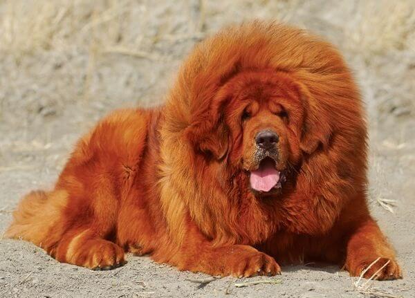 سگ ماستیف تبتی با حجم انبوهی از مو قرمز