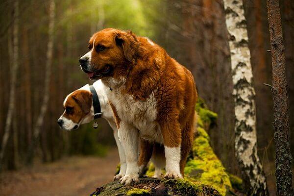 دو سگ سنت برنارد