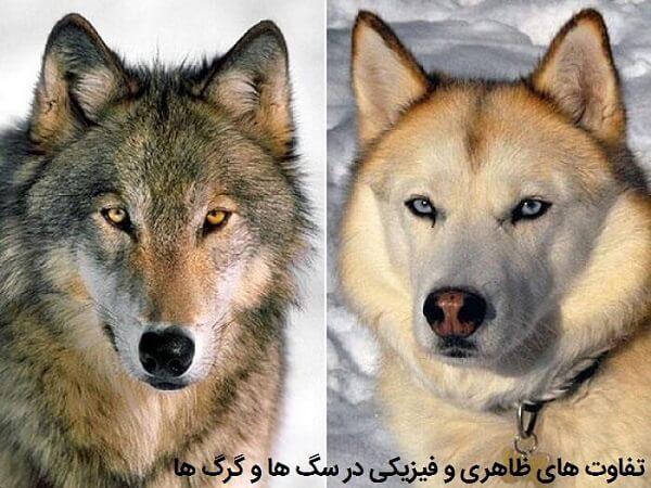 تفاوت های ظاهری در گرگ ها و سگ ها