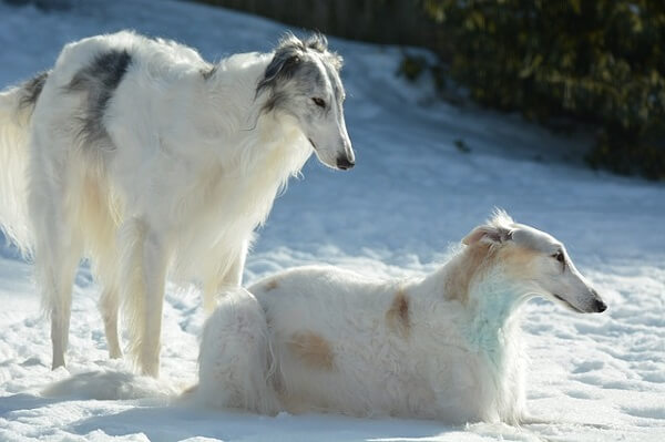 سگ شکار روسی (بورزوی)
