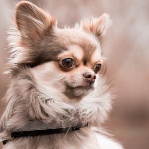 خرید سگ شی هوا هوا
