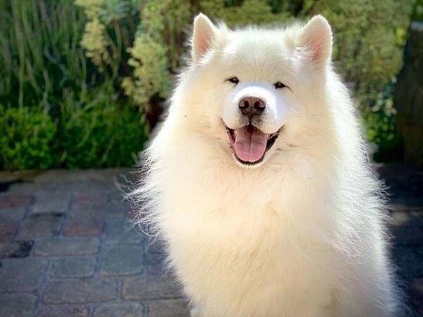 سگ ساموید خندان متعلق ه کشور المان