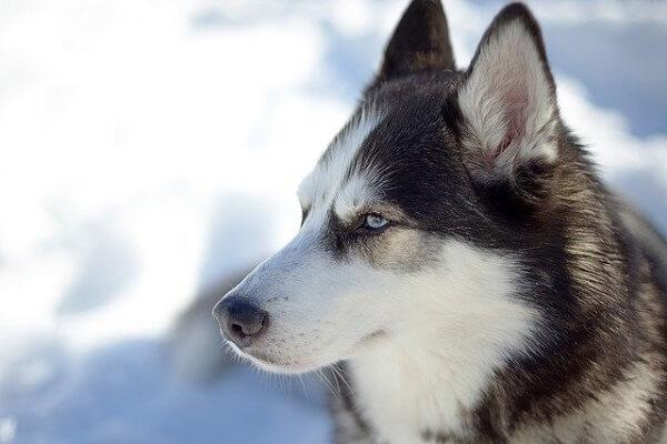 سگ اصیل روسی هاسکی سیبرین