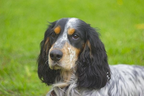 سگ اسپانیل روسی