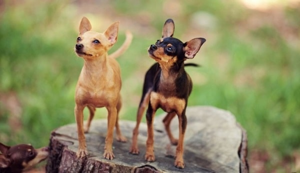 دو سگ عروسکی روسی