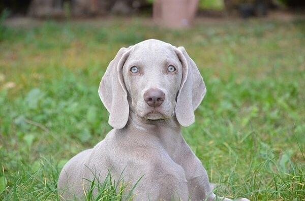 سگ وایمارانر نژاد اصیل آلمانی