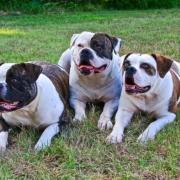 سه بولداگ امریکایی
