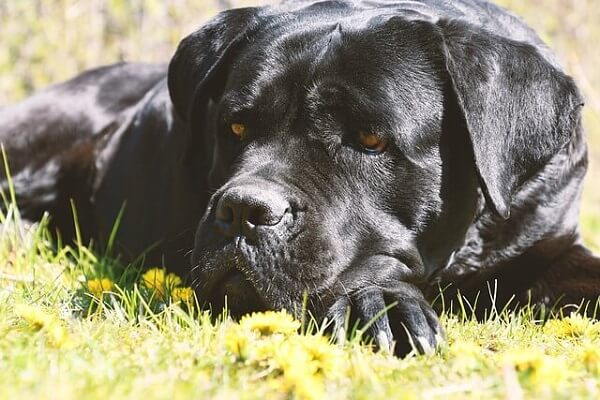 کن کورسو یازدهمین سگ قدرتمند در لیست
