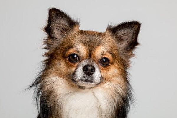 چهره سگ شی هوا هوا