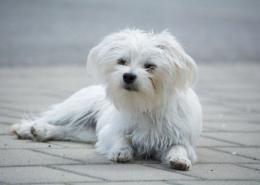 ظاهر سگ مالتینز