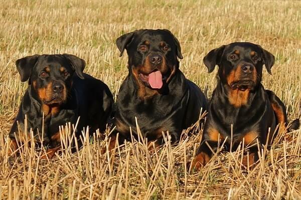سه روتوایلر