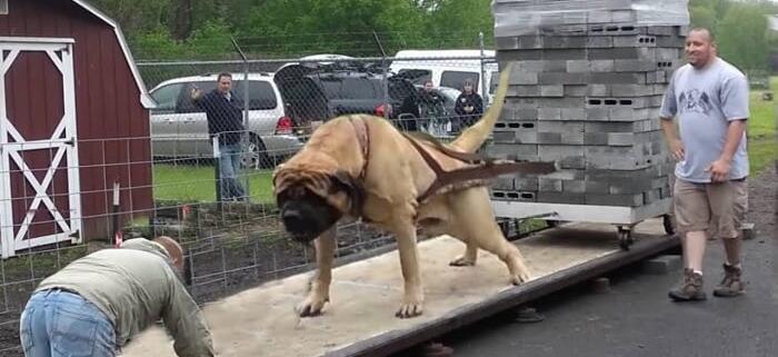 قدرتمندترین نژاد های سگ