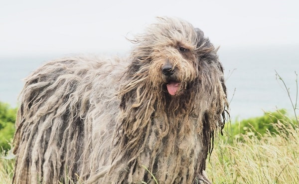 Bergamasco-Sheepdog