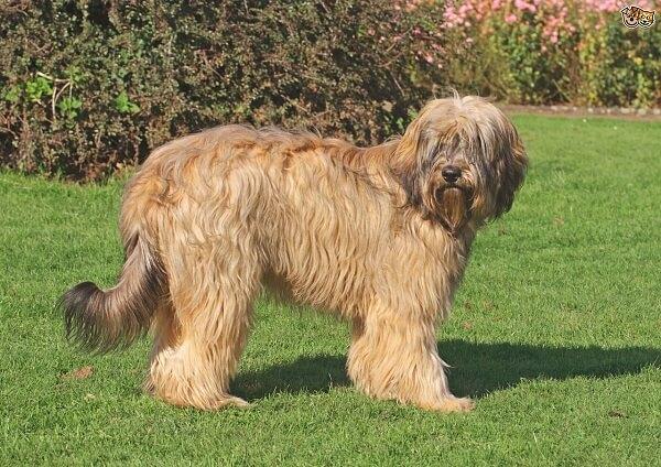 سگ گله کاتالونیایی