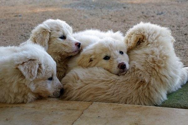 4 توله سگ مارمانو