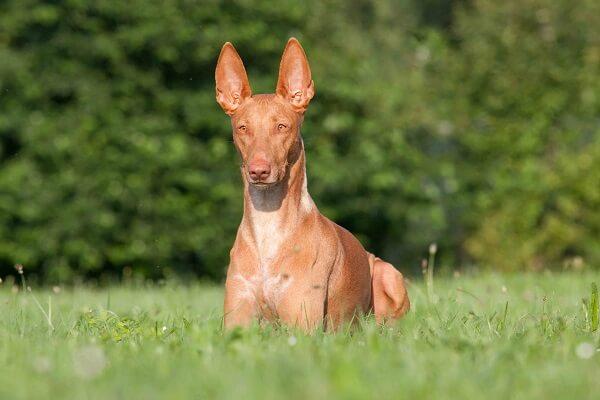 سگ شکاری فاروهاند