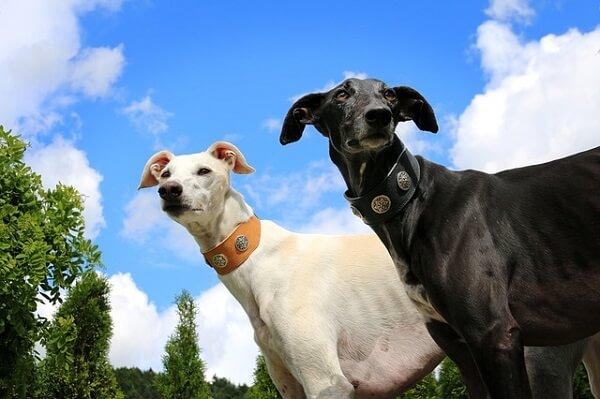 دو سگ گالگو به رنگ های سیاه و سفید