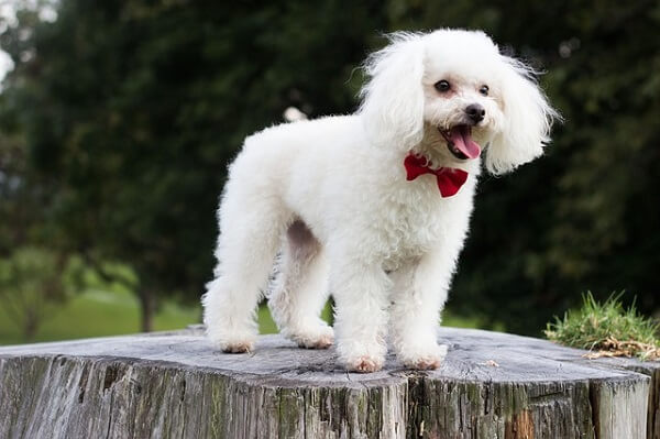 سگ پودل با پاپیون قرمز