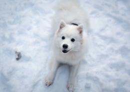سگ سفید داخل برف
