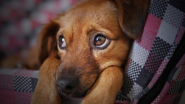 سگ غمگین