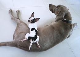 سگ بزرگ و سگ کوچک