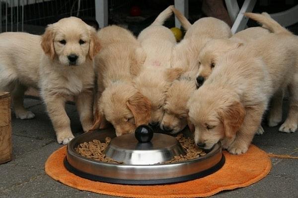 6 توله در حال خوردن غذا