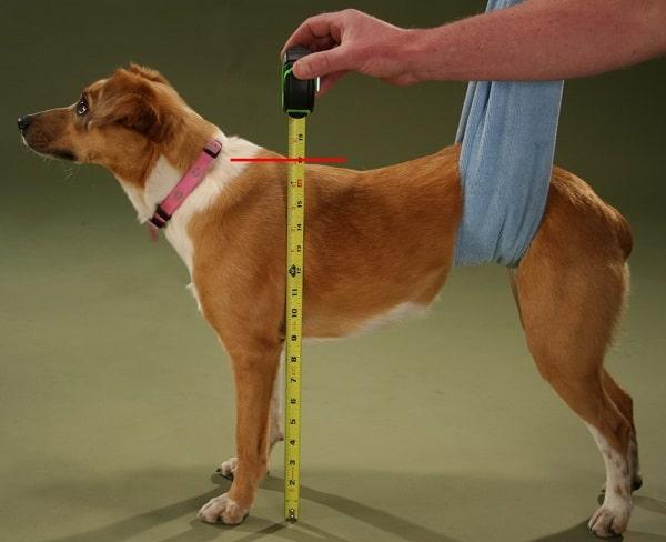 اندازه گیری قد سگ