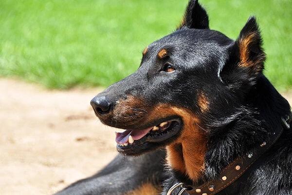 سگ نژاد بوسرون (Beauceron)