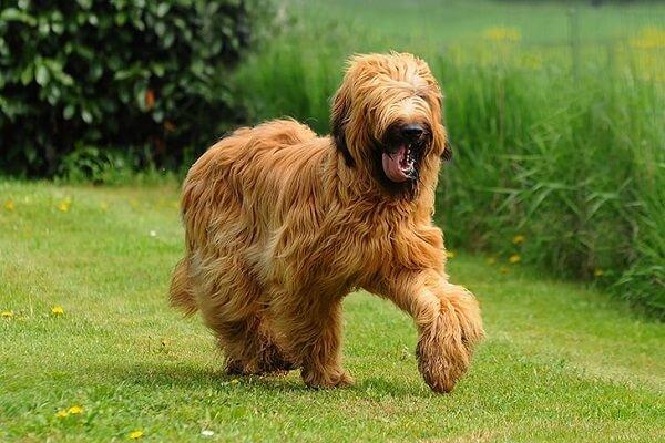 سگ نژاد بریارد (Briard)