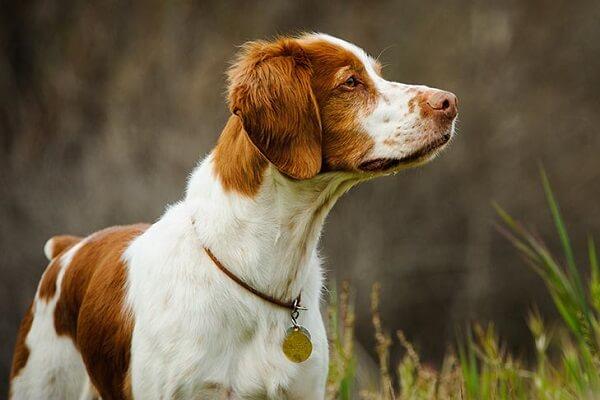 سگ نژاد بریتانی (Brittany)